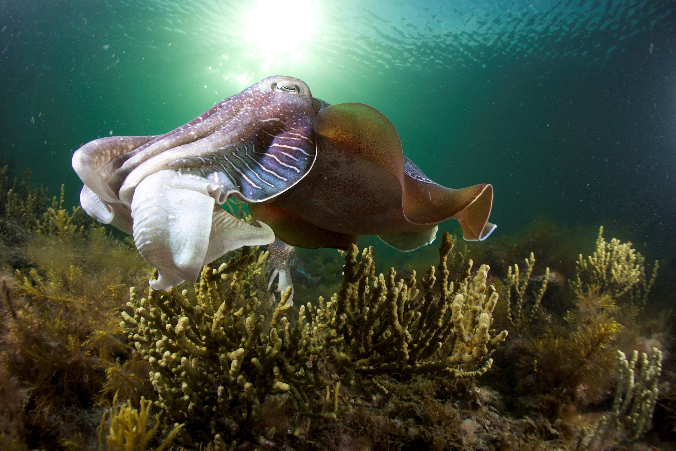 Cuttlefish in clear sunfiltered water off Stony Point, Whyalla SA